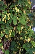 5 Seeds of Humulus Lupulus Hallertau Hops Vine - $16.83