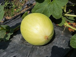 SHIPPED FROM US 100 Casaba Melon Golden Beauty Cucumis Melo Fruit Seeds,... - $15.00