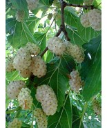 6-8 inches tall White Mulberry plant,1-2 year old tkmv - $76.00