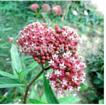 20 Butterfly Weed - Carmine seeds ~easy to grow - $4.88