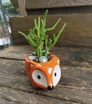 """Succulent in Fox Planter, Live Plant Watch Chain Crassula muscosa 5"""" Orange Pot"""