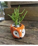 """Succulent in Fox Planter, Live Plant Watch Chain Crassula muscosa 5"""" Orange Pot - $14.99"""