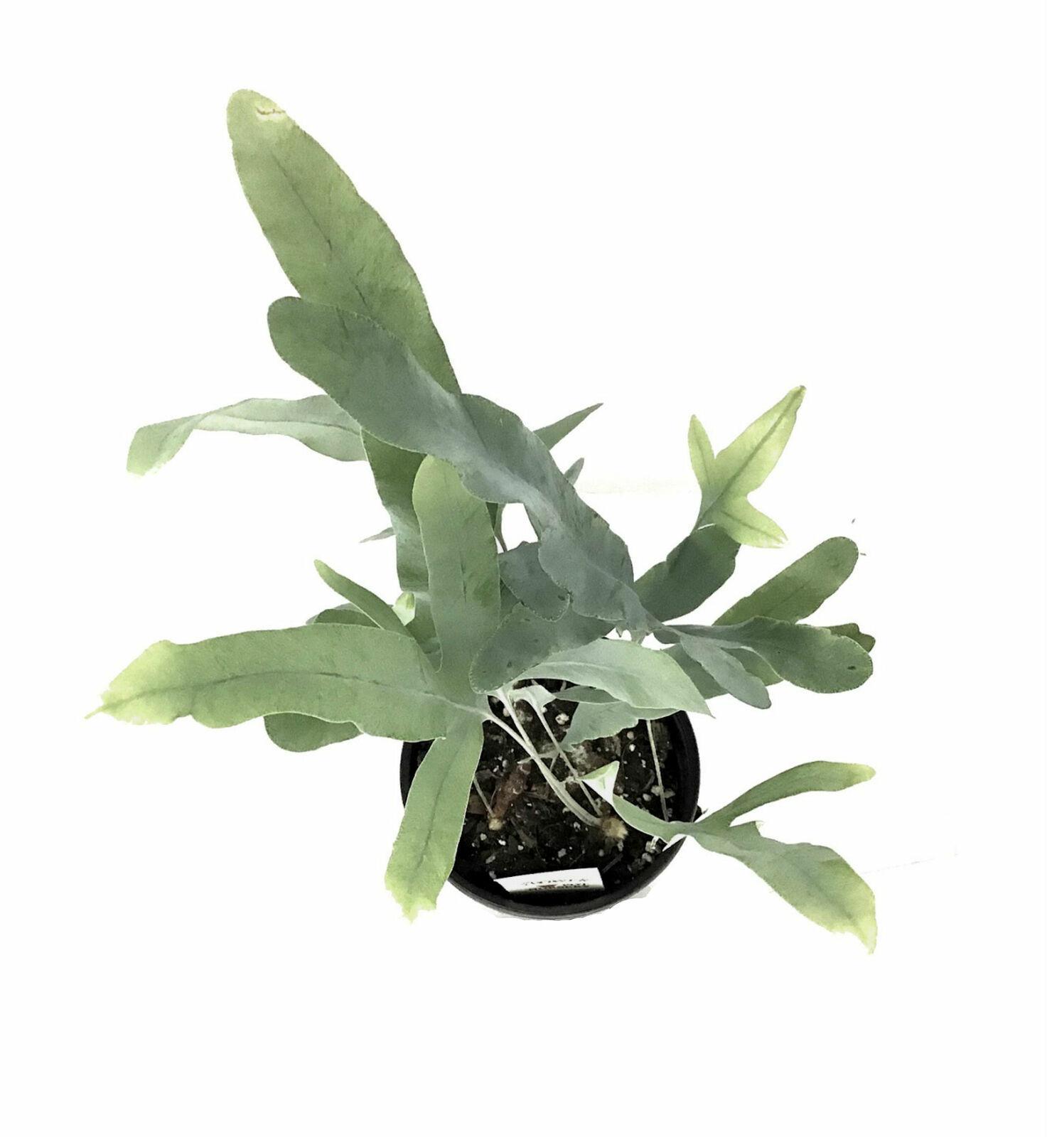 "4"" Pot VirginiaBlue Fern Polypodium pseudo-aureum Virginia Blue - FREESHIPPING - $42.00"