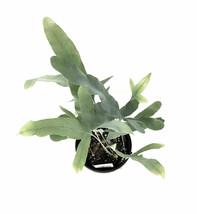 "4"" Pot VirginiaBlue Fern Polypodium pseudo-aureum Virginia Blue - FREESH... - £30.35 GBP"