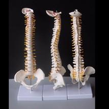 Human Skeleton Model Adult Bend Spine 45cm Flexible 1:1 Massage Yoga Tea... - $39.08