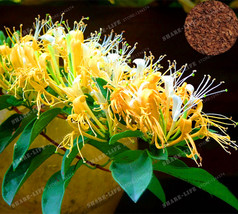 200PCS Cape Honeysuckle (Tecomaria Capensis) Seeds, Fresh Exotic flower ... - $4.76