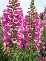 FOXGLOVE FLOWER SEEDS 25 fresh seed ready to plant in the garden - $1.99