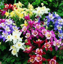 50 Aquilegia Mix Columbine Flower Perennial Seeds #STL17 - $15.17