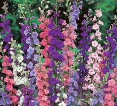 DELPHINIUM, GIANT IMPERIAL 1000+ SEEDS ORGANIC , A GREAT CUT FLOWER - $10.99