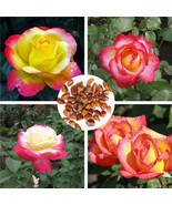 Colorful Love And Peace Rose 20pcs Seeds pink and yellow Rosa Genus Home... - $2.65