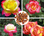 Ice colorful love and peace rose 20pcs seeds pink and yellow rosa genus home house thumb155 crop