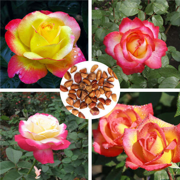Wholesale price colorful love and peace rose 20pcs seeds pink and yellow rosa genus home house