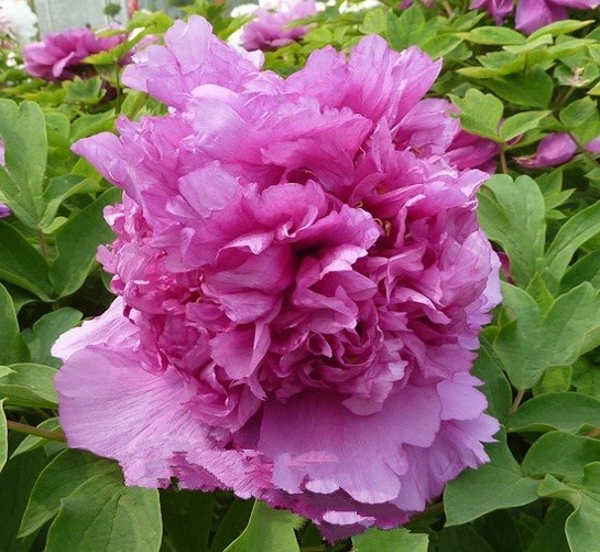 Primary image for Rare 'Ming's Purple Peony, Rare Flowers 5 seeds/pack