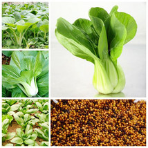100 pcs/Bag Pak Choi Bok Choy Chinese Cabbage Bonsai Vegetable Bonsai Ea... - $1.18