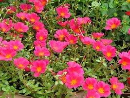 200 Rock Purslane Ruby Tuesday Flower Seeds Calandrinia Umbelleta - $9.89