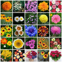 25 Kinds Chrysanthemum & Daisy Flower Seeds 100% Real Nice Pack Free to ... - $8.40