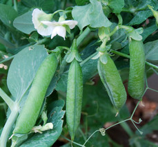 SHIP From US, 25 Seeds 'Early Frosty'-Garden Pea Seeds, DIY Healthy Vege... - $21.99