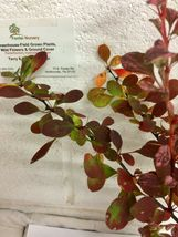 Rose Glow Barberry (Berberis thunbergii 'Rose Glow') shrub qt. pot image 4