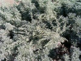 Artemisia Absinthium Absinth Or Wormwood jocad (10 Seeds) - $11.88