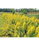 SHIPPED FROM US 200+SHOWY GOLDENROD American Native Wildflower Seeds, CB08 - $17.00