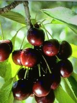 SHIP FROM US1 DWARF BLACK CHERRY TREES 1-2 FT FLOWERING FRUIT SWEET CHER... - $72.99