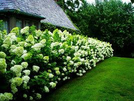 LIMELIGHT Hydrangea shrub PP#12874 image 4
