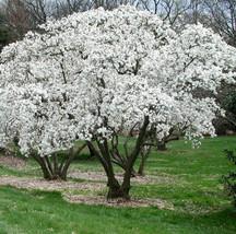 Star Magnolia- Magnolia stellata image 1