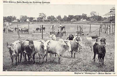 Brahma Bucking Bulls vintage Post Card by Stryker