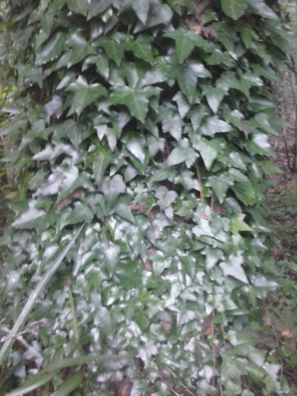 2 english ivy live plants with roots 2 foot long each for Plants that live long