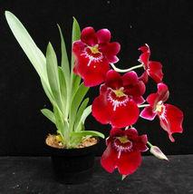 """BIN) Milt. Bert Field 'Leash' AM/AOS Cattleya Orchid Plant 2 1/2"""" Pot NBS - $38.25"""