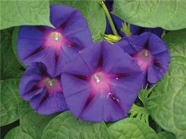 Non GMO Bulk Morning Glory, Scarlet O'Hara Flower Seeds (10 Lbs) - $194.98