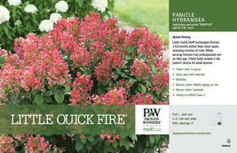 Little QUICK FIRE Hydrangea petite shrub image 3