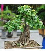 Bodhi Tree - Ficus Religiosa - Deciduous Tree - 20 Seeds - $29.00