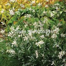 Import,20pcs/lot Gaura lindheimeri,White Gaura, Lindhemier's Beeblossom seeds fl - $7.45