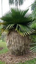 Cuban Petticoat Palm - Live Plant in a 4 Inch Growers Pot - Copernicia M... - $118.77