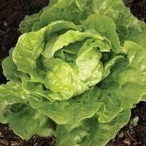 4 Variety Seds - Tasty Edible Tom Thumb Lettuce Vegetable Seeds #IMA41 - $13.99+