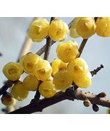 60pcs Very Elegant Winter Sweet Prunus Mume Tree Seeds Yellow Plum Blass... - $14.99