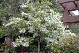White Fringe tree quart pot image 1