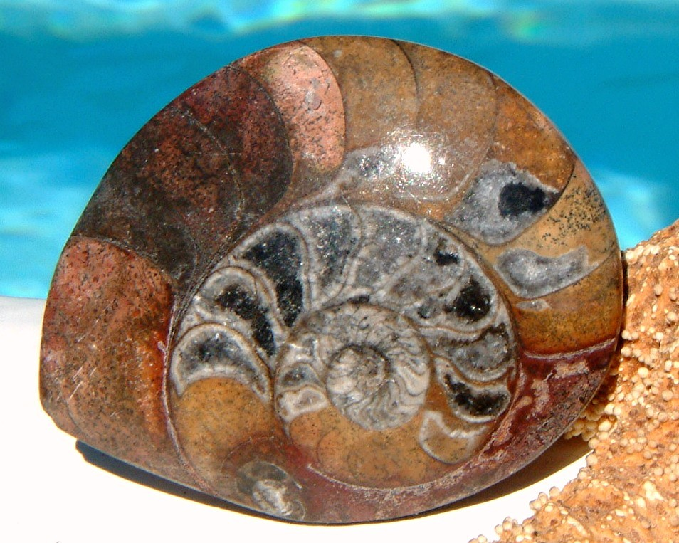 Ammonite fossil front polished earth tones