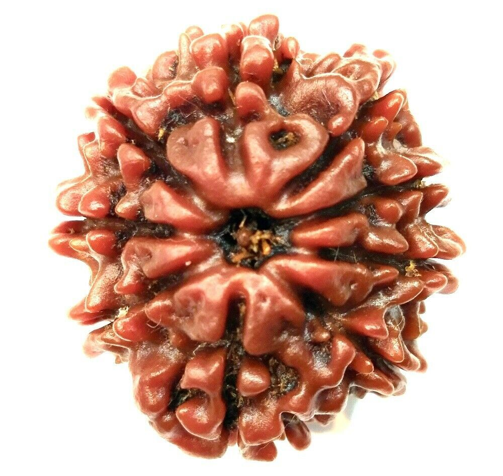 Primary image for 9 Mukhi Rudraksha / Collector Nine face Rudraksha - Nepal - Lab Certified