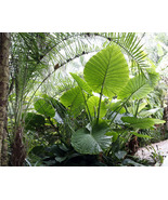 Borneo Giant  Plant - Alocasia / Elephant Ear / Taro   1 Gallon Size Pot  - $36.00