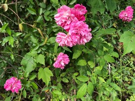 3 Live Plants Heirloom Wild Rambling Climbing Pink Rose Bushes Bare Root... - $59.79
