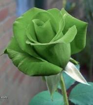 5 GREEN ROSE Rosa Bush Shrub Perennial Flower Seeds - $14.88