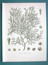 SANDARAC TREE Medicinal Callitris Quadrivalvis - Beautiful COLOR Botanic... - $16.83
