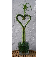 Lucky Bamboo Heart Arrangement in Square Glass Vase with Marbles-Great Gift - $25.00