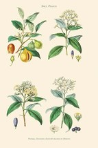 Spice Plants. Nutmeg, Cinnamon, Clove, Allspice or Pimento by William Rhind - Ar - $19.99+