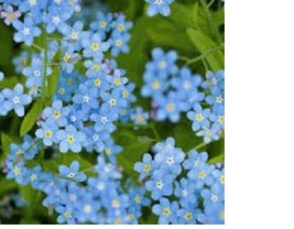 SHIPPED From US,PREMIUM SEED:150 Particles of Chinese ForgetMeNot,Hand-P... - $24.99
