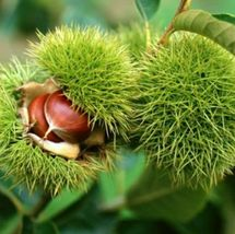 Chinese Chestnut (Castanea mollissima) 1 bare root plant, 1-2 year old - $38.99