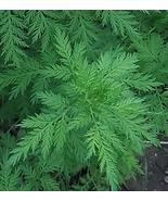 Chinese medicinal herb wormwood seeds, Family Artemisia annua Seeds 200pcs - $8.91
