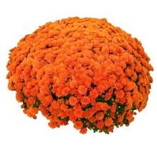 100pcs chrysanthemum orange 1 thumb200